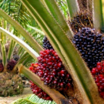 Presco Plc rakes in N4.4 billion profit from palm plantation and processing